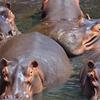 Hippopotamuses In The Park.