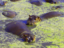 Hippos In A Pool