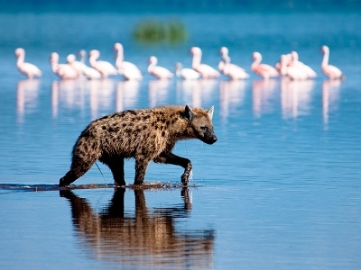 Hyena At Lake Nakuru