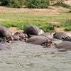 Hippopotami In The Kazinga Channel