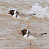 Hooded Plovers In Area