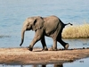 A Baby Elephant On The Banks Of The Chobe River