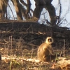 Monkey Family At Tadoba Lake