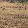 Tadoba Grazing Grounds