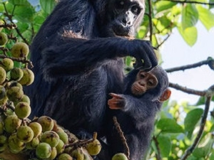 Gorillas and Chimpanzee Tracking Safaris Photos