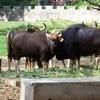 Indian Bison Mysore