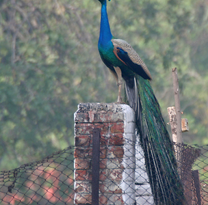 Indian Peacock At SultanpurNational Park