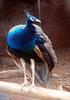 Indian Peafowl At Sri Venkateswara Zoological Park