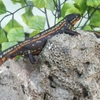 Japanese Fire Bellied Newt