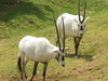 White Oryx At The Johannesburg Zoo
