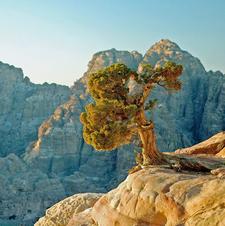 Juniperus Phoenicea Petra