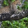 Kabini Leopard