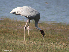 Kanwar Lake Bird Sanctuary
