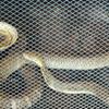 King Cobra At Dong Tam Snake-Breeding Farm