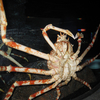 King Crab - Siam Ocean World