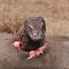 Komodo Dragon Feeding
