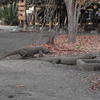 Komodo Dragons In Komodo National Park