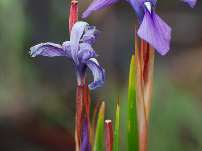 Moraea Callista In Kitulo National Park.