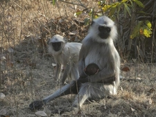 Langoors In Kanha National Park