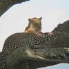 Leopard At Serengeti National Park