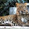 Leopard Kanpur Zoo