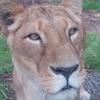 Lioness Dublin Zoo