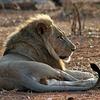 Lion @ Ruaha National Park In Tanzania