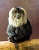 Lion Tailed Macaque In Bristol Zoo
