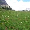 Alpine Flowers Logan Pass