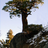 Weathered Incense Cedar Tree