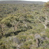 Open Eucalyptus Woodland In Park