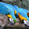 Macau Parrots