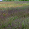 Marsh Grasses Along Upper Kvichak River