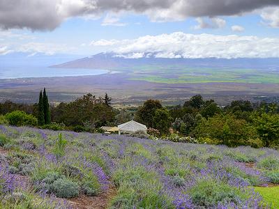 Maui Hi - Kula Lavender Farm View