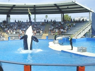 The Killer Whale Show At The Seaquarium