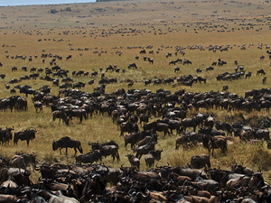 Great Migration Safari - Kenya Photos