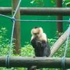 Mono Carablanca