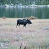 Moose At Big Sandy Lake