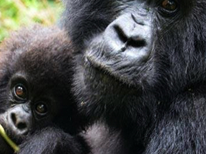 Gorilla Trekking Tour in Bwindi, Uganda Photos