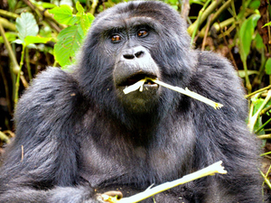 Gorilla Trekking And Game Drives