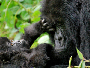 5 Days Gorilla Trek, Culture, Wildlife Safari Rwanda Photos