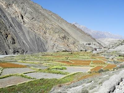 Muktinath - Cultivation In Valley At Muktinath - Nepal Annapurnas