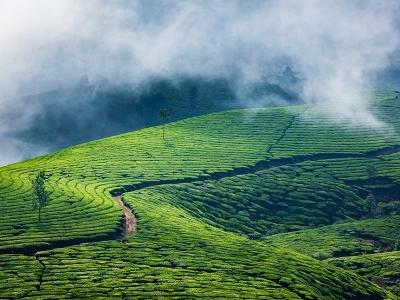 Munnar Tea Garden View