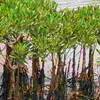 A Cluster Of Mangroves