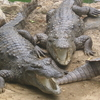Marsh Crocodiles Basking In The Sun