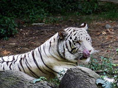 Nandan Kanan White Tiger Safari