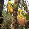 Nepenthes Villosa At Mount Kinabalu