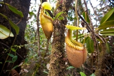 Nepenthes Villosa At Mount Kinabalu
