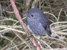Toutouwai, Karori Wildlife Sanctuary