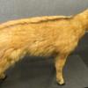 Naemorhedus Baileyi Kunming Natural History Museum